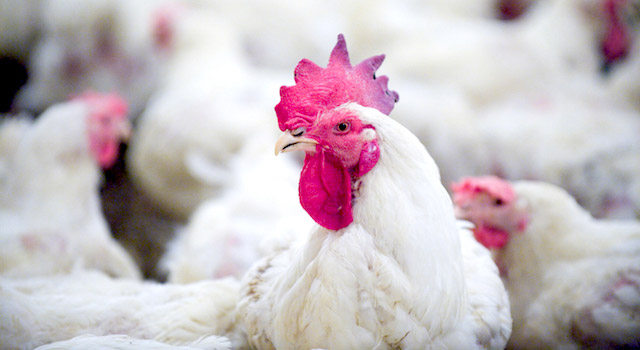blog-avian-flu-facts